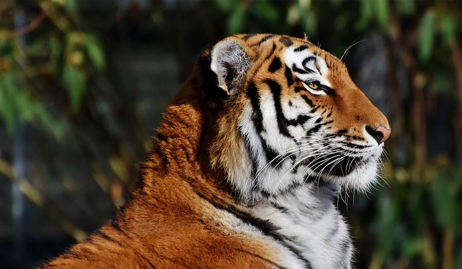 Тигр Фэн-Шуй