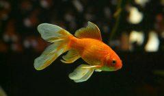 "Гадание  на три желания ""Золотая рыбка"""